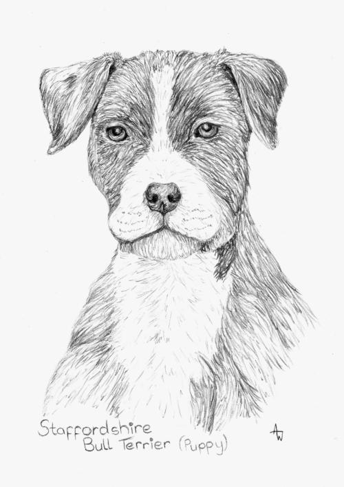 Staffordshire Bull Terrier (Puppy) - Graphite pencils