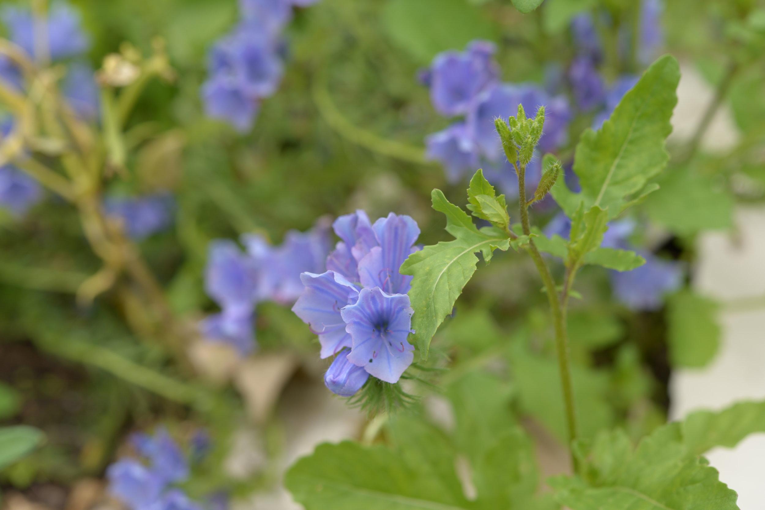 Blue Echium vulgare