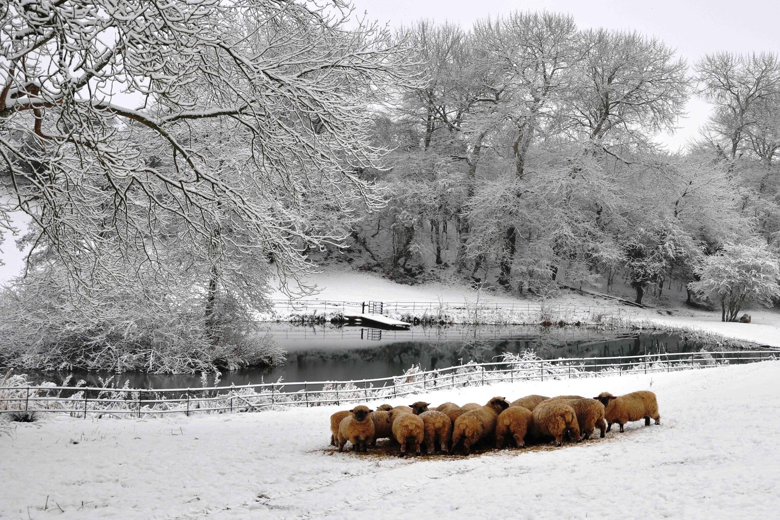 Sheep in Snow.jpg