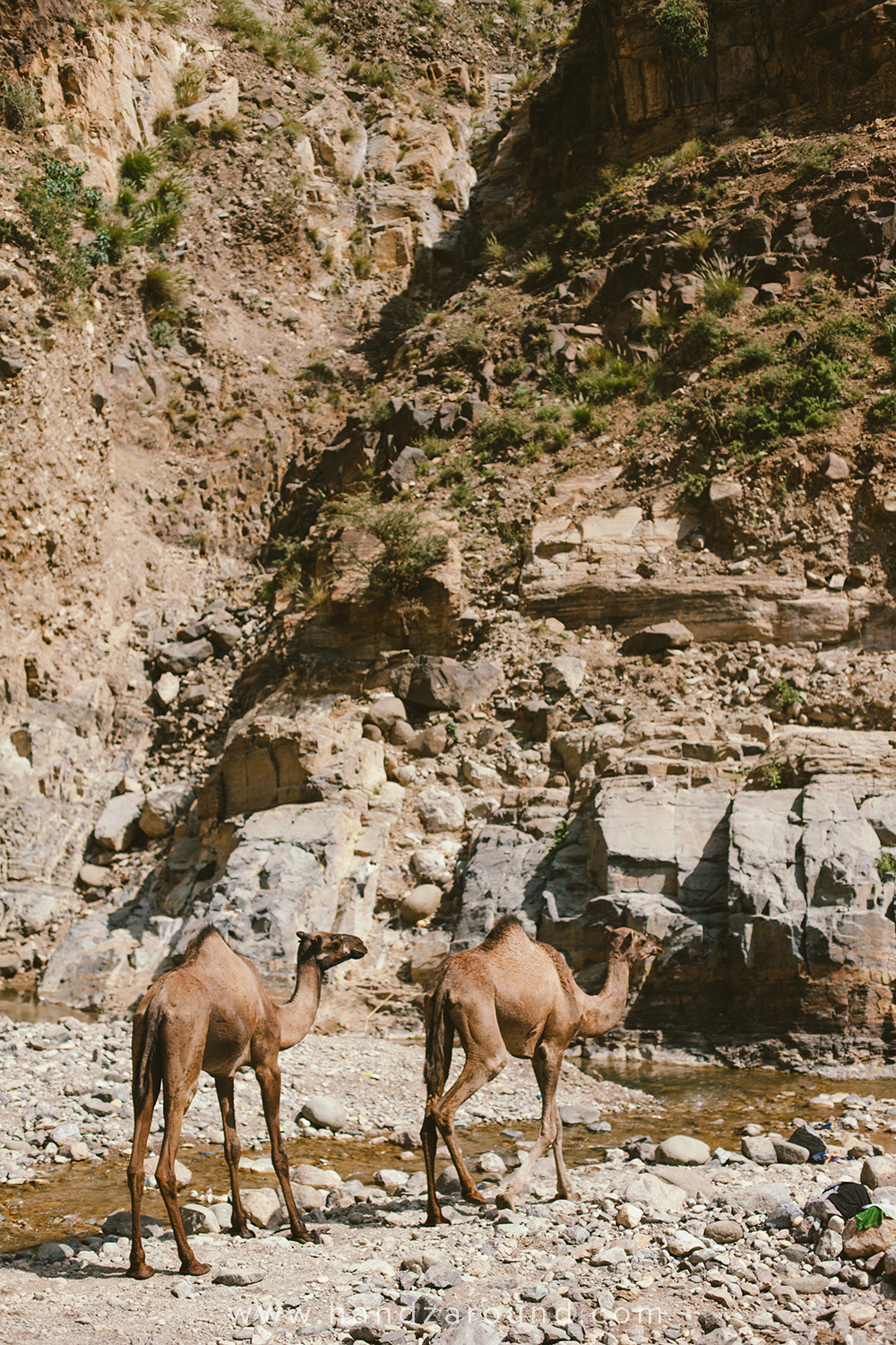 Camels came for a drink