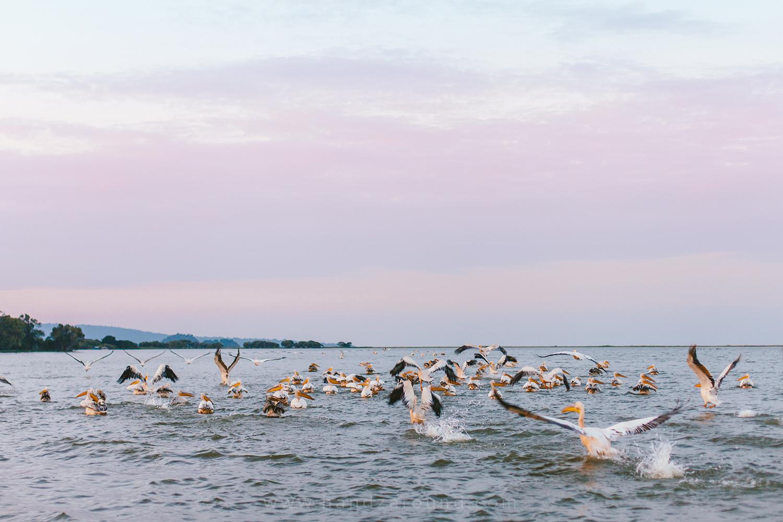 Lake Tana and pelicans