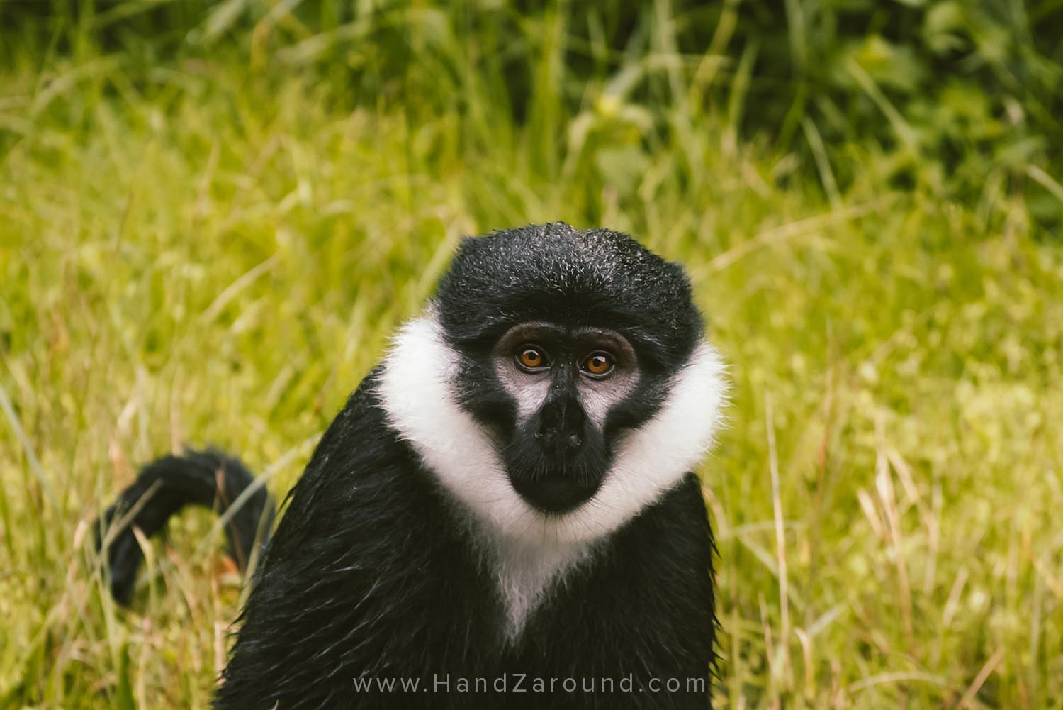 Rwanda's mountain monkey spotted whilst driving through Nyungwe Forest
