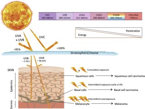 Photo Credit: Coelho MMV, Matos TR, Apetato M. The dark side of the light: mechanisms of photocarcinogenesis. Clinics in Derm. 2016;34:563-570.