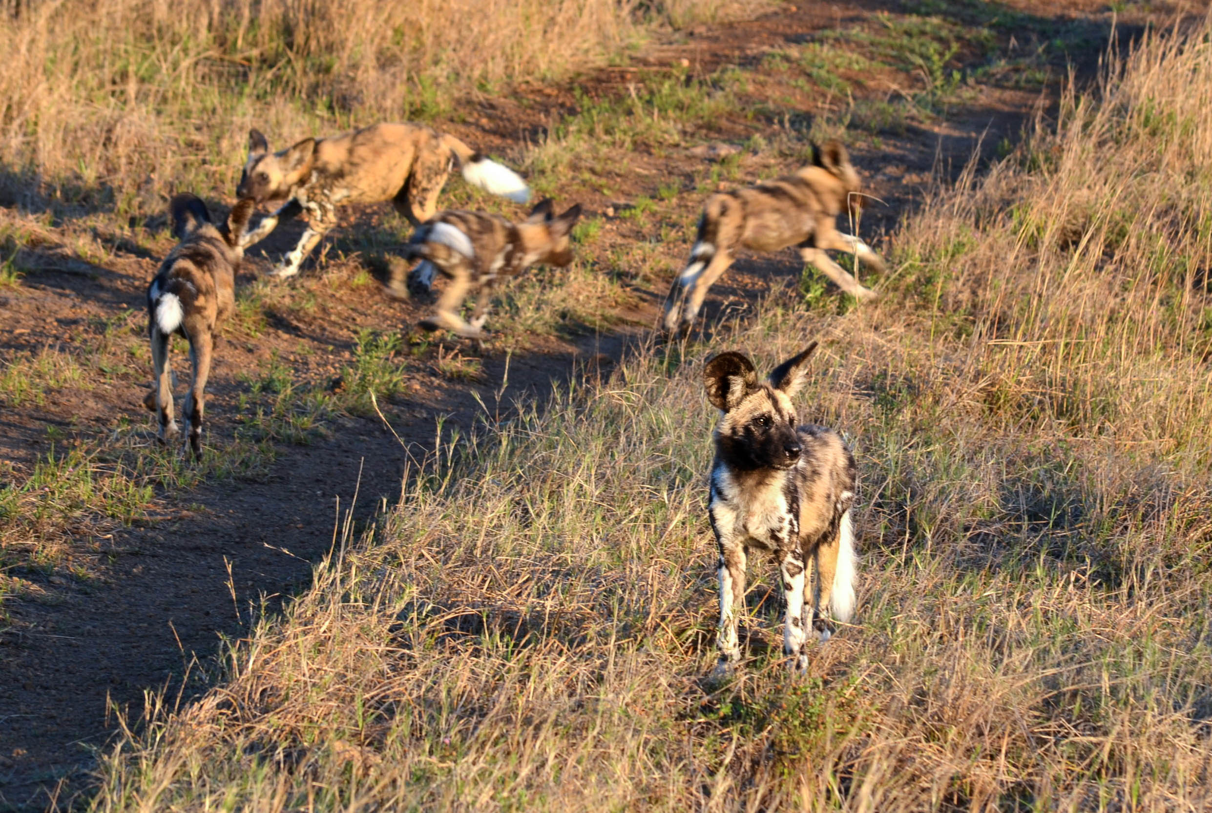 Copy of African Wild Dog (critically endangered)
