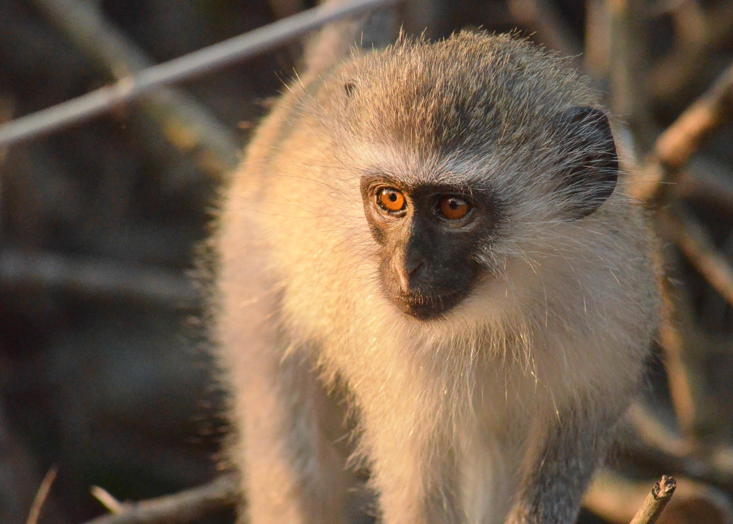 Copy of Vervet Monkey