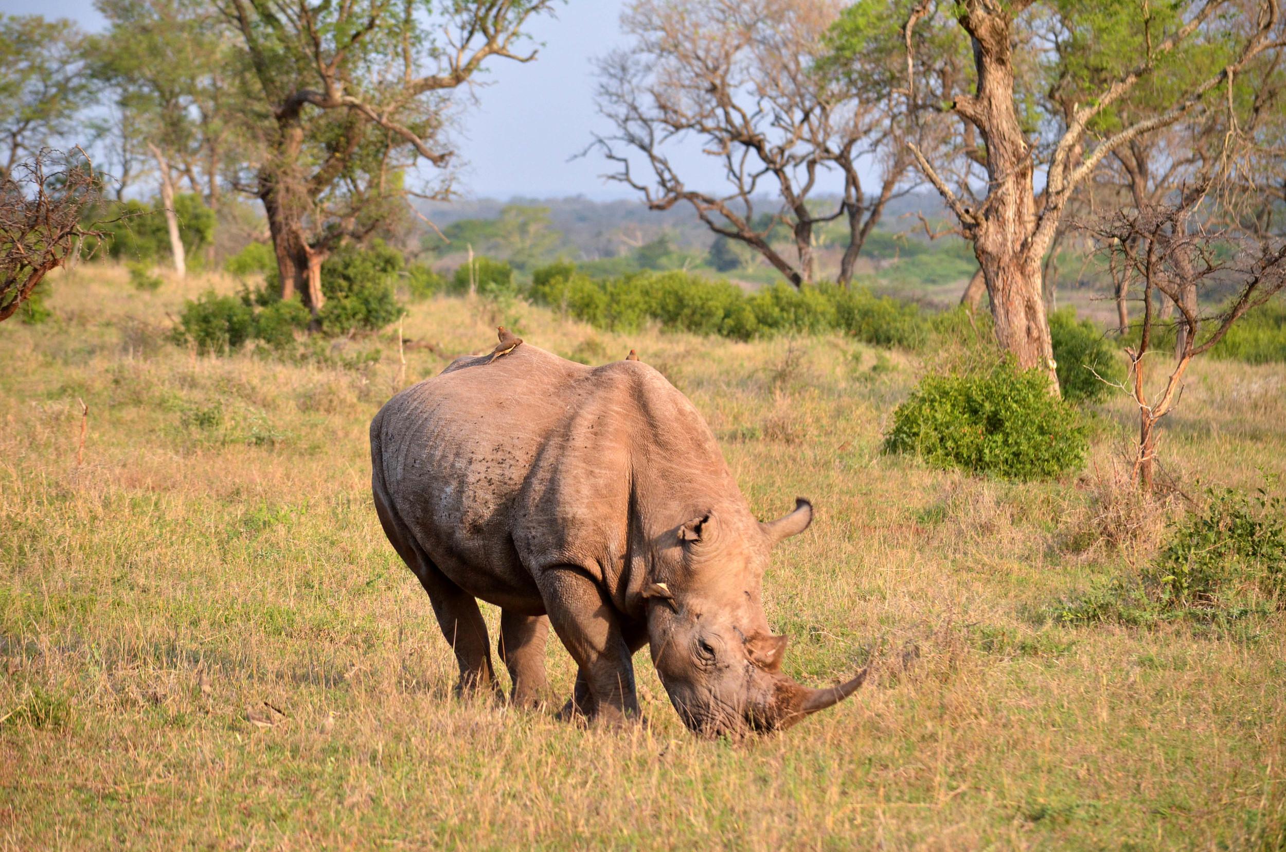 Copy of White Rhino (endangered)