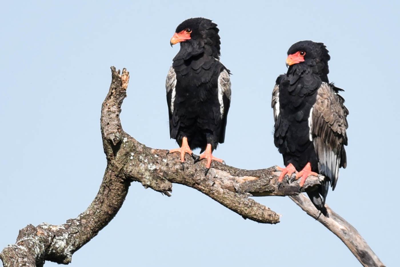 Copy of Bateleur Eagle