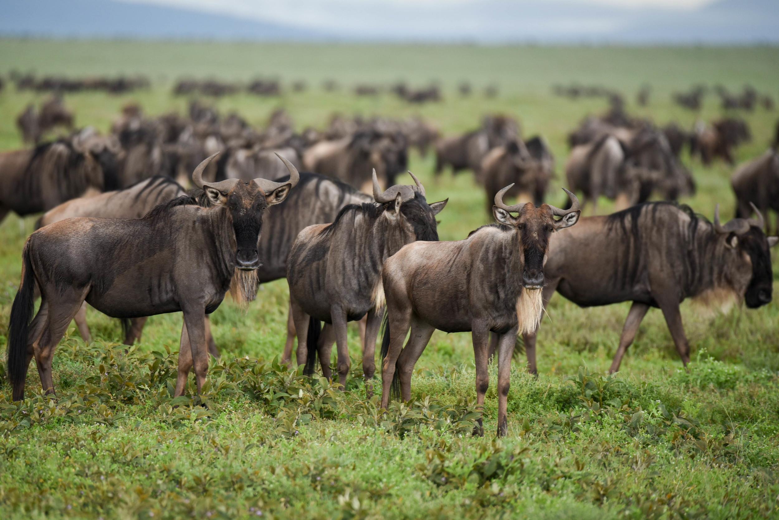 Copy of Wildebeest