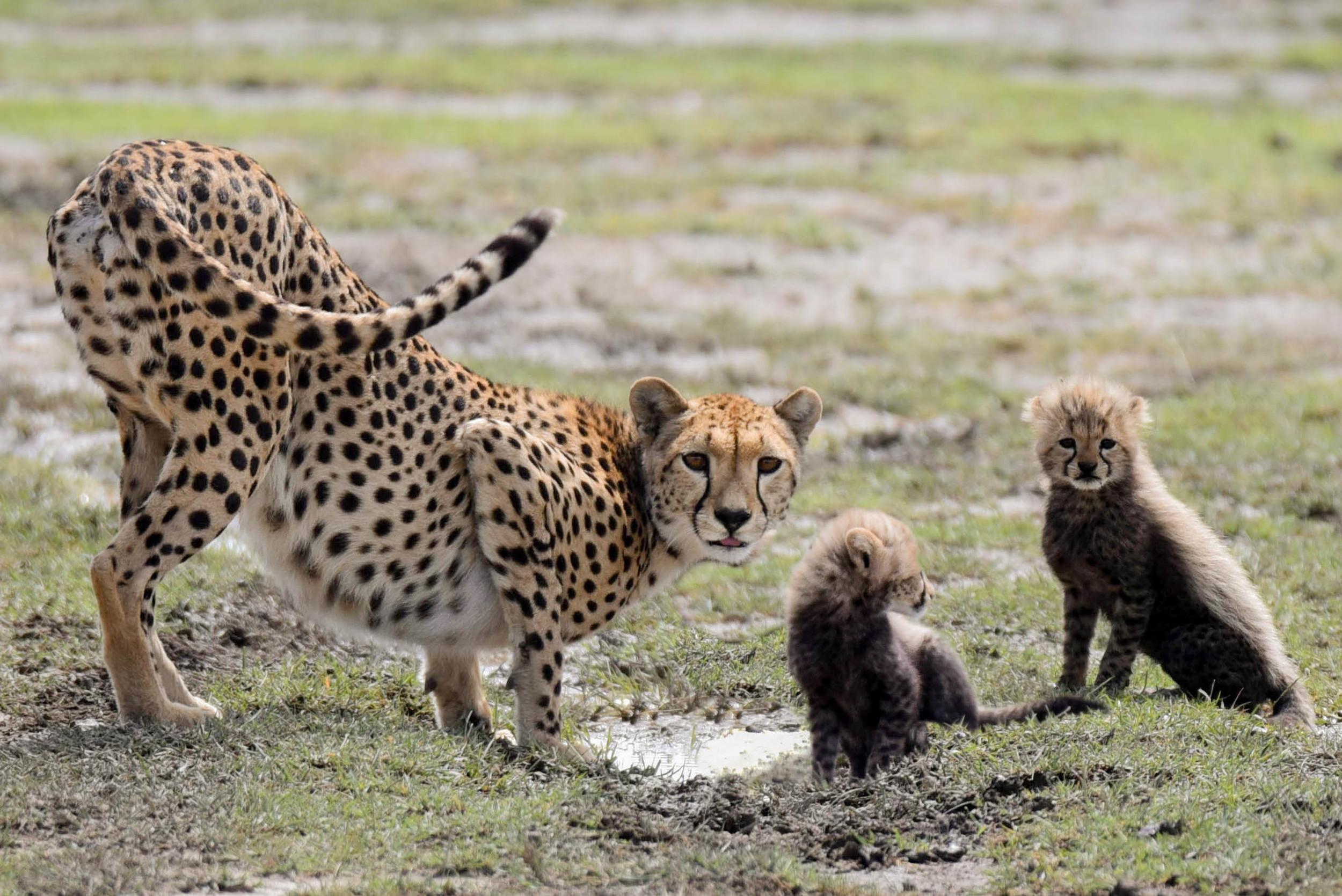 Copy of Cheetah