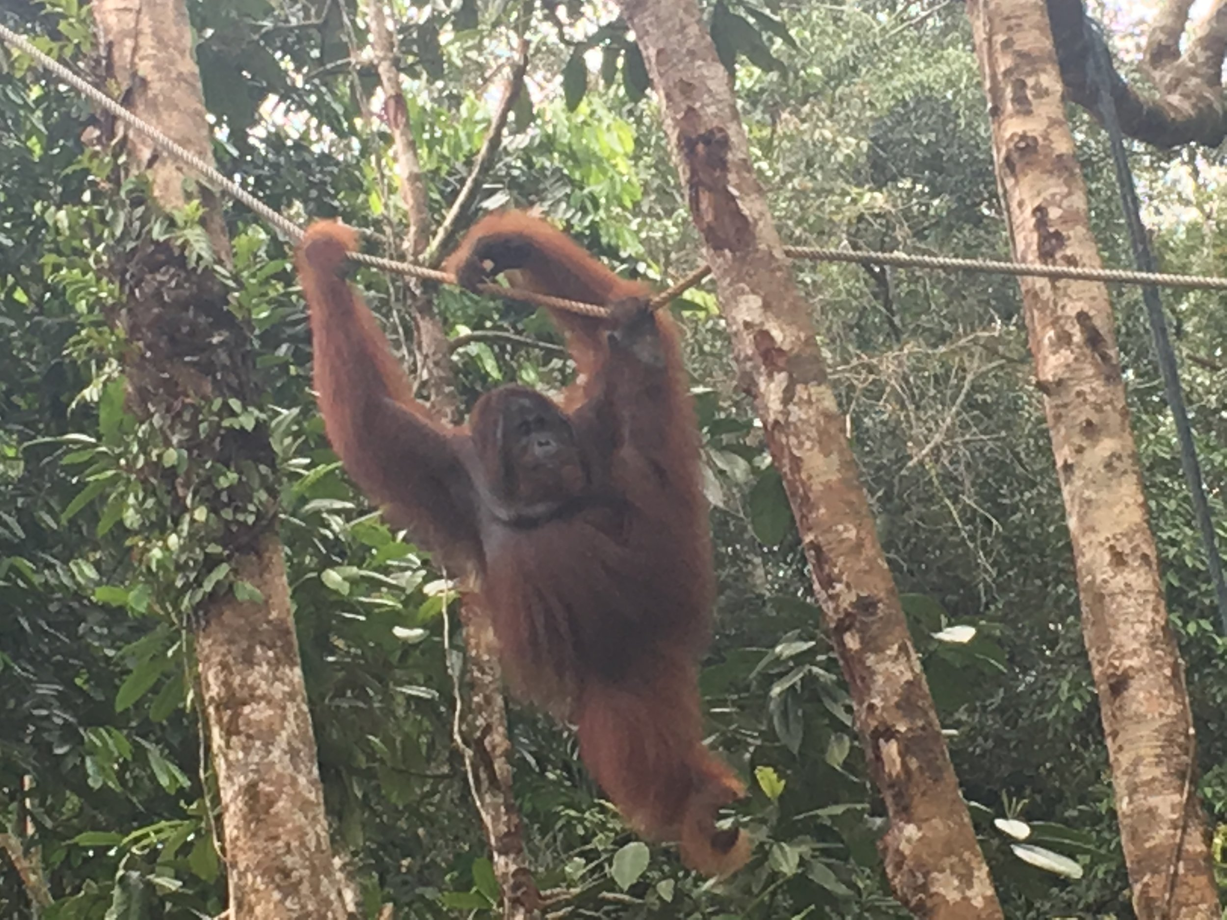 If you ever have the chance to visit an orangutan sanctuary, you definitely should go.  I could watch these guys all day.  I was smiling ear to ear the whole visit.  Please do your research and make sure the sanctuary you choose is ethically responsible, like the Semmengoh Wildlife Center in Borneo, Malaysia.