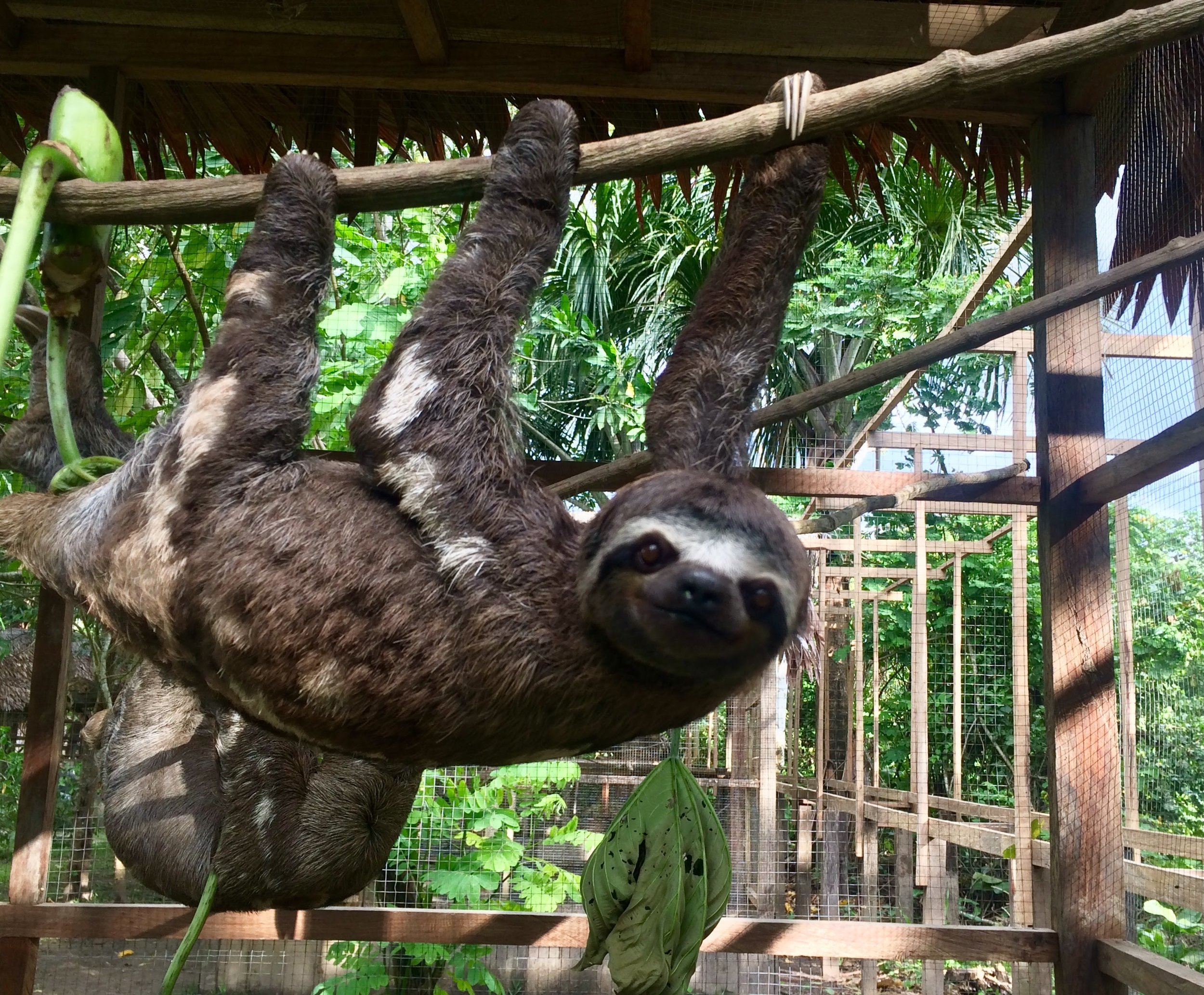 A sloth in the Peruvian Amazon- January, 2018