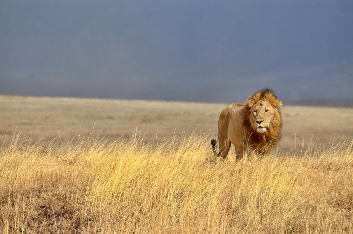 Africa Lion wildlife photography