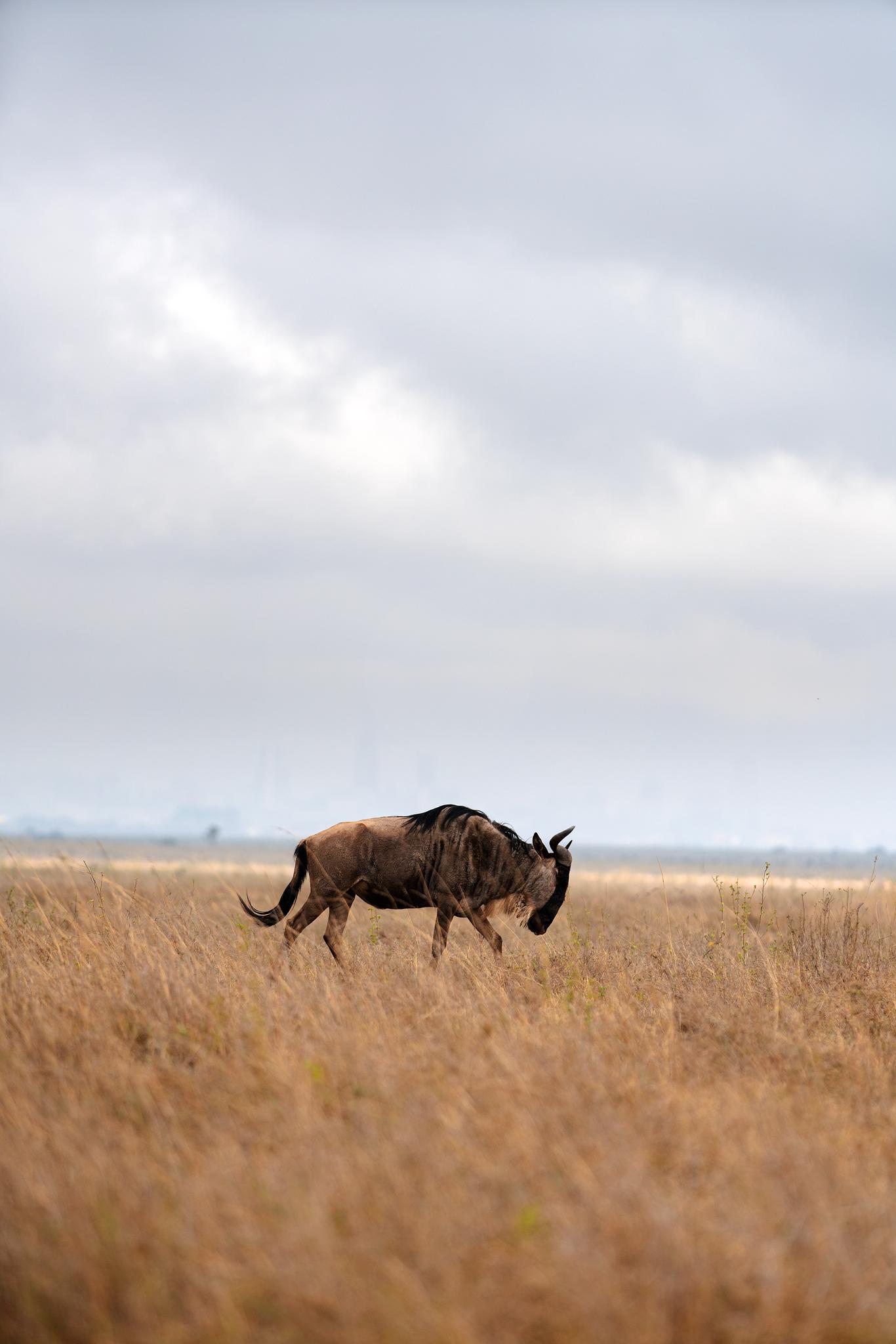 Nairobi Game Park Wilder Beast