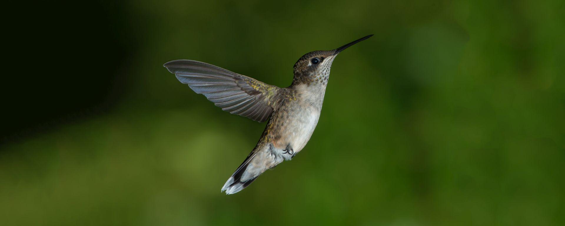 Hummingbird-sknotes.jpg