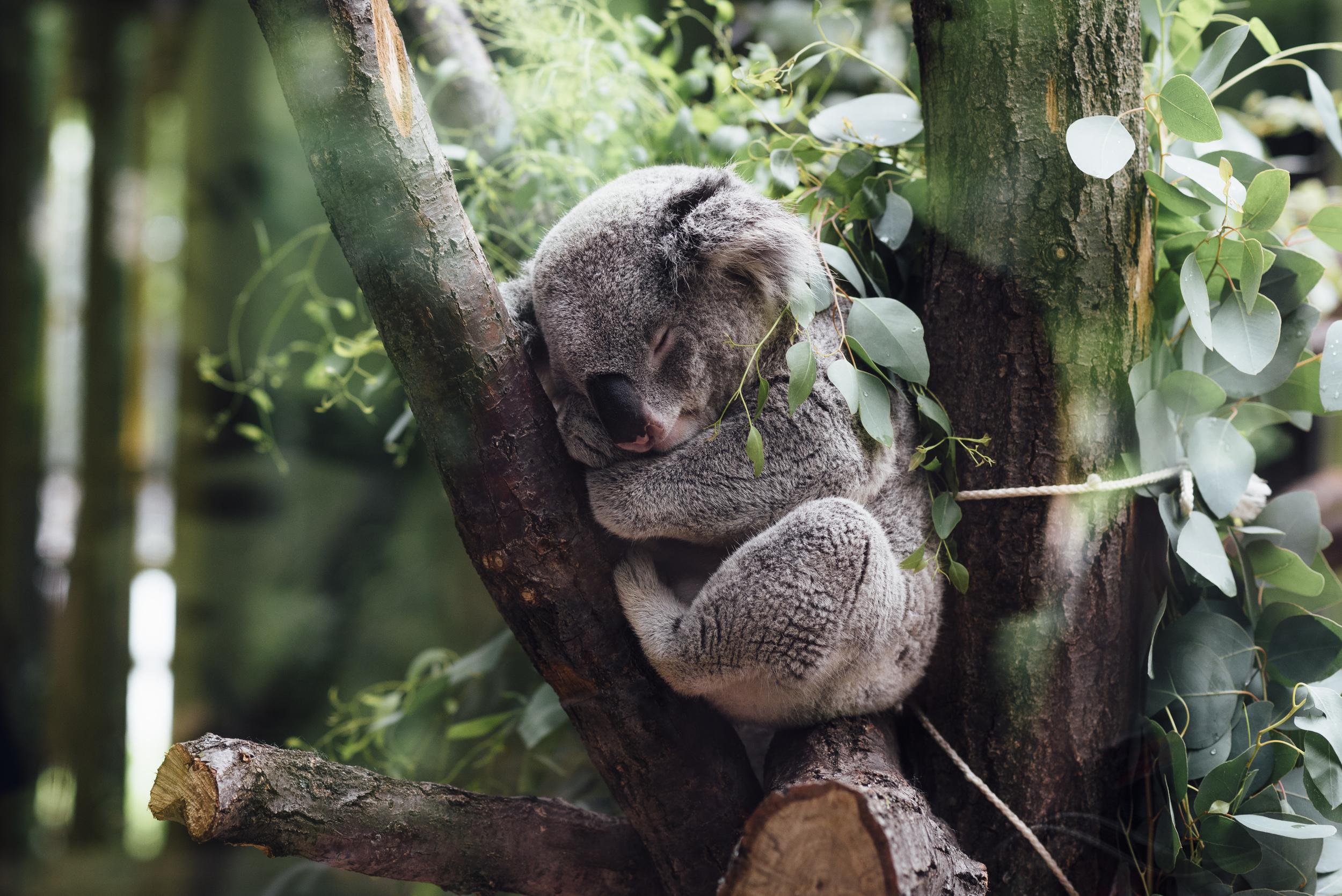 Koala að kúra