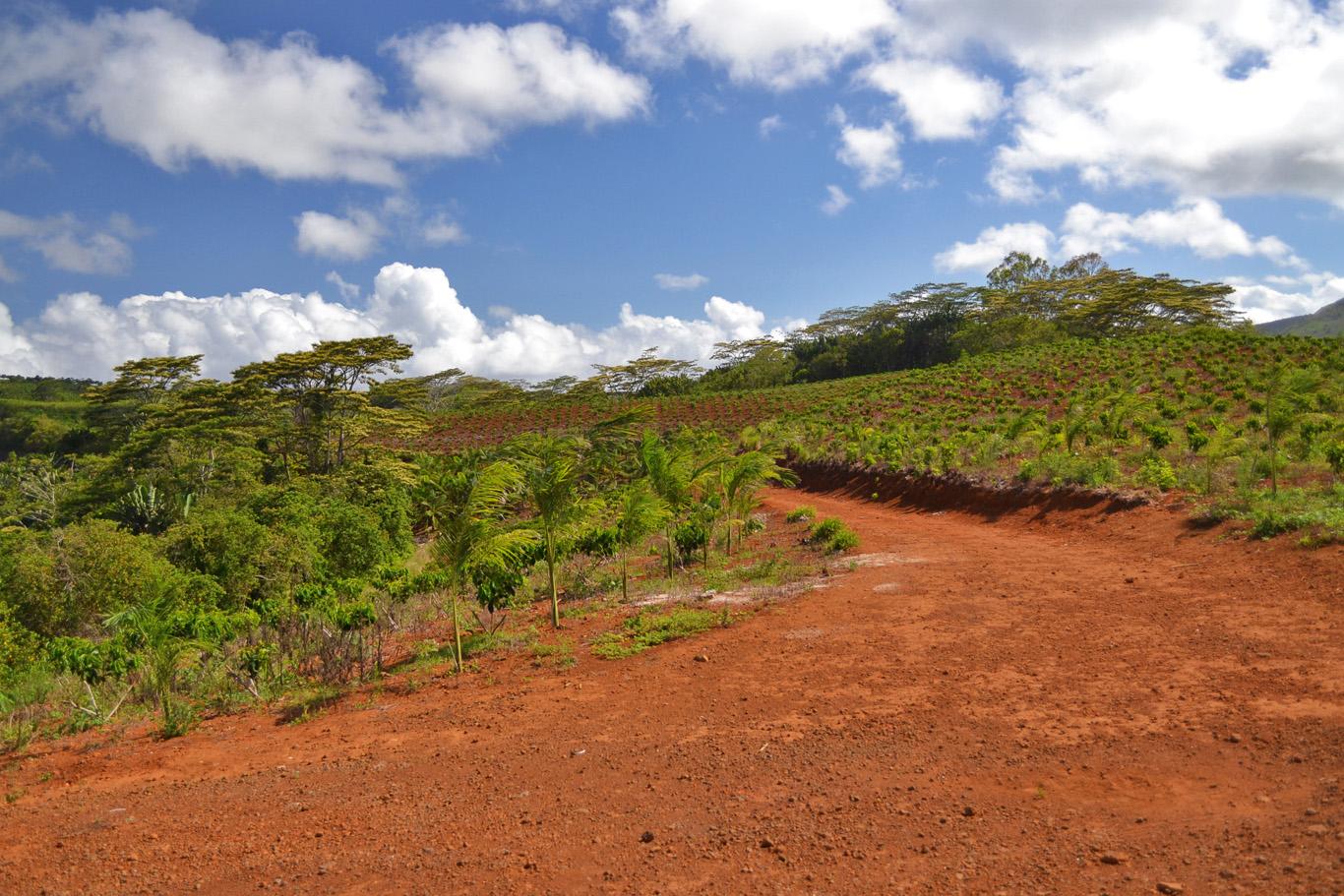 Coconut plantation in Chamarel