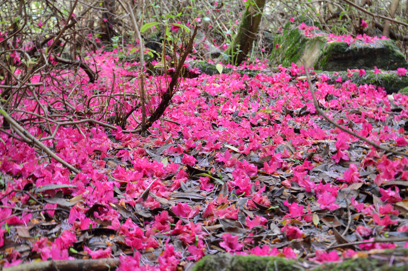 Carpet of beautiful rhododendron flowers