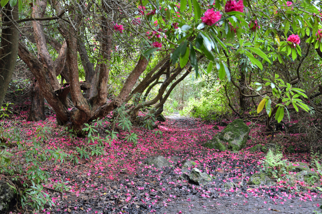 Rhododendron carpets