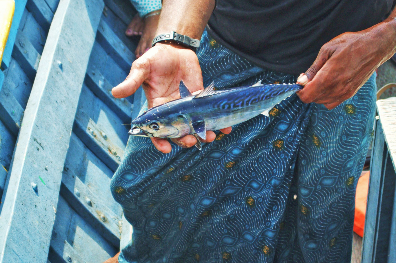 Mackerel caught by one of the fishermen