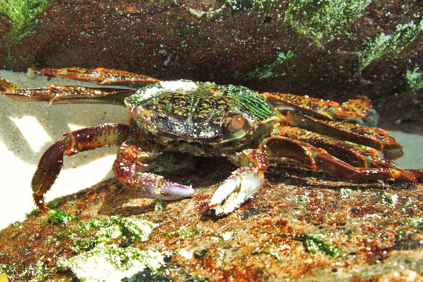 Crab in Kadmat, Lakshadweep Islands