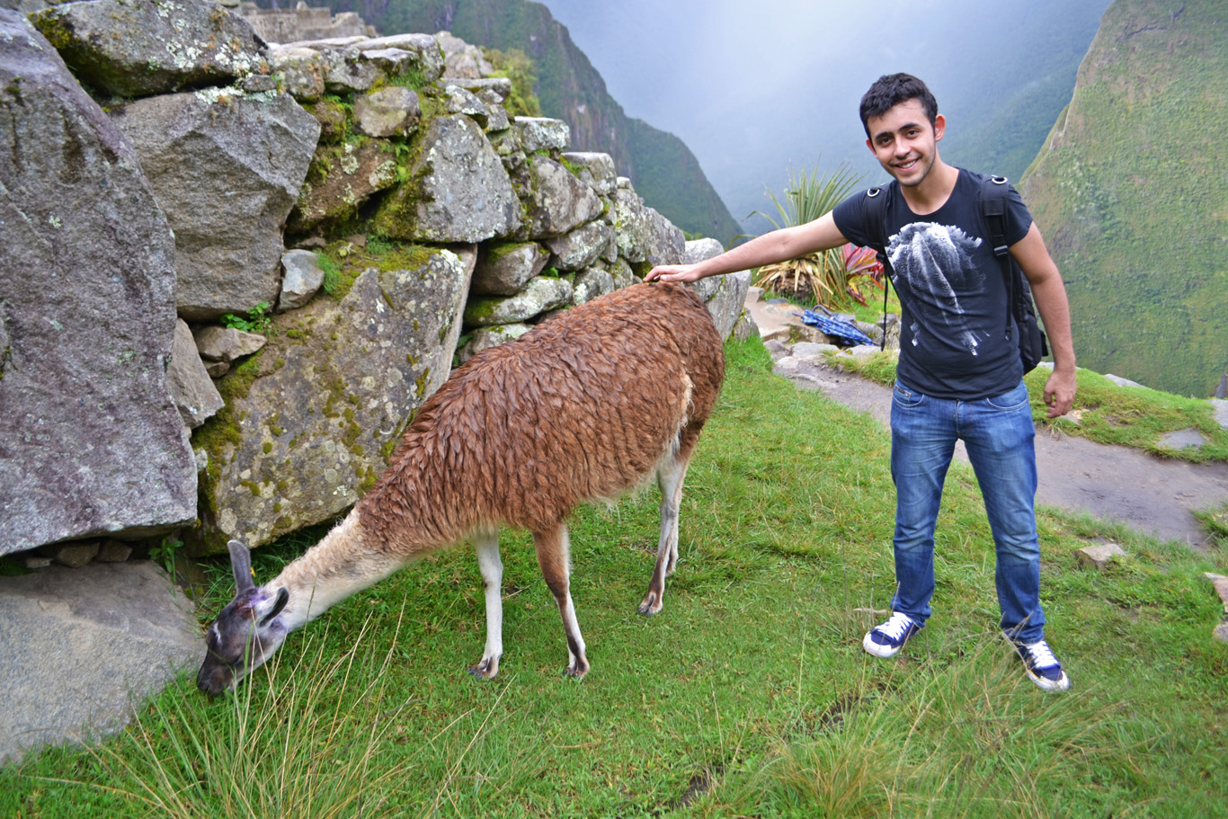 Lama    g  razing      at Machu Picchu