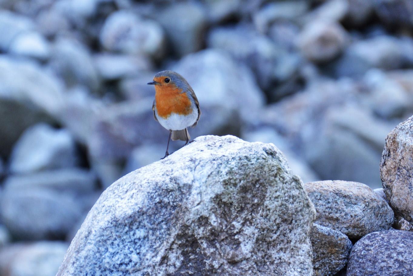 Cute little bird on one of the granite rocks