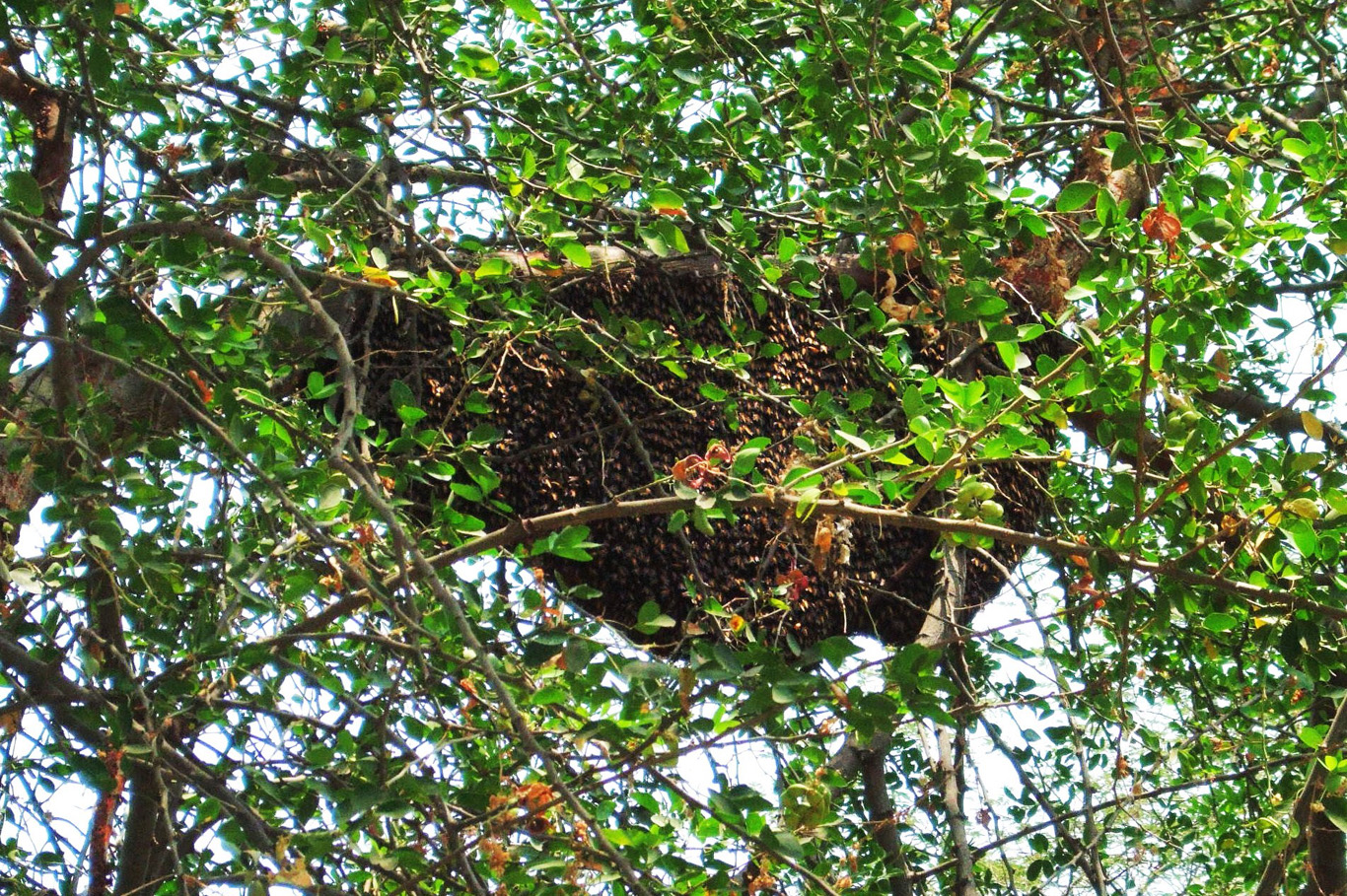 Bee nest on a tree