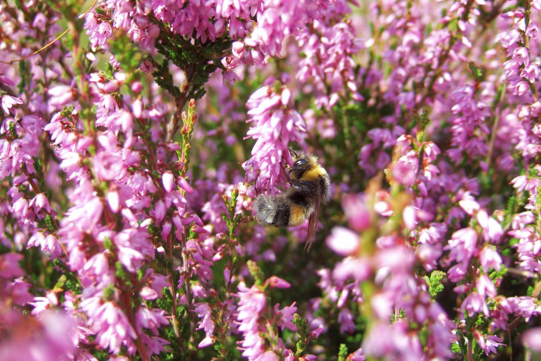 Bee in heathers