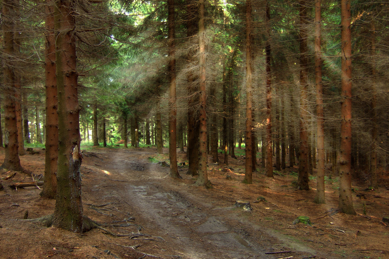 Sun rays among spruce trees