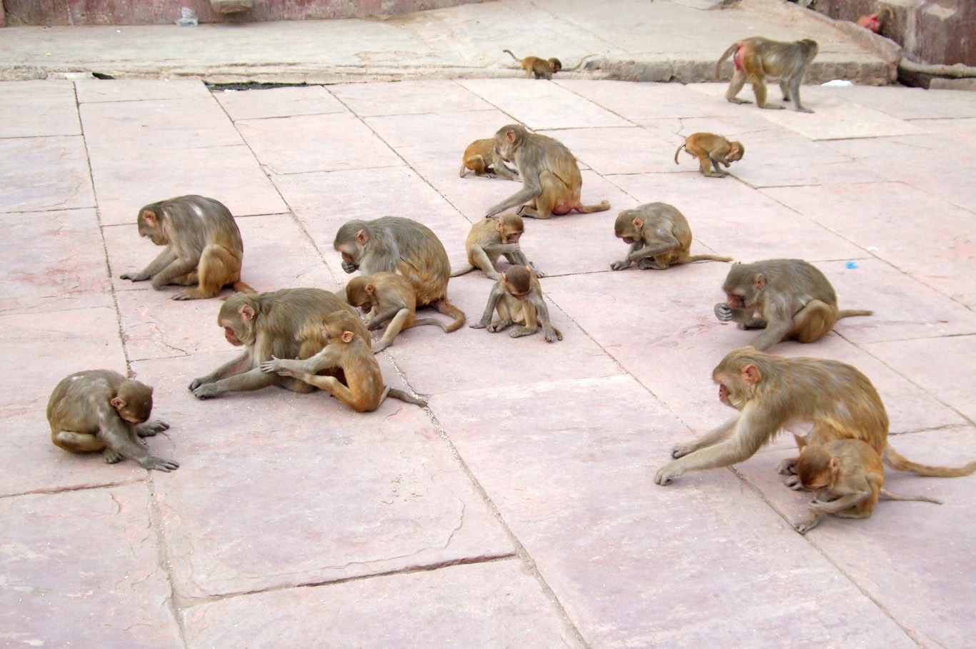 Hungry  monkies  in Mathura