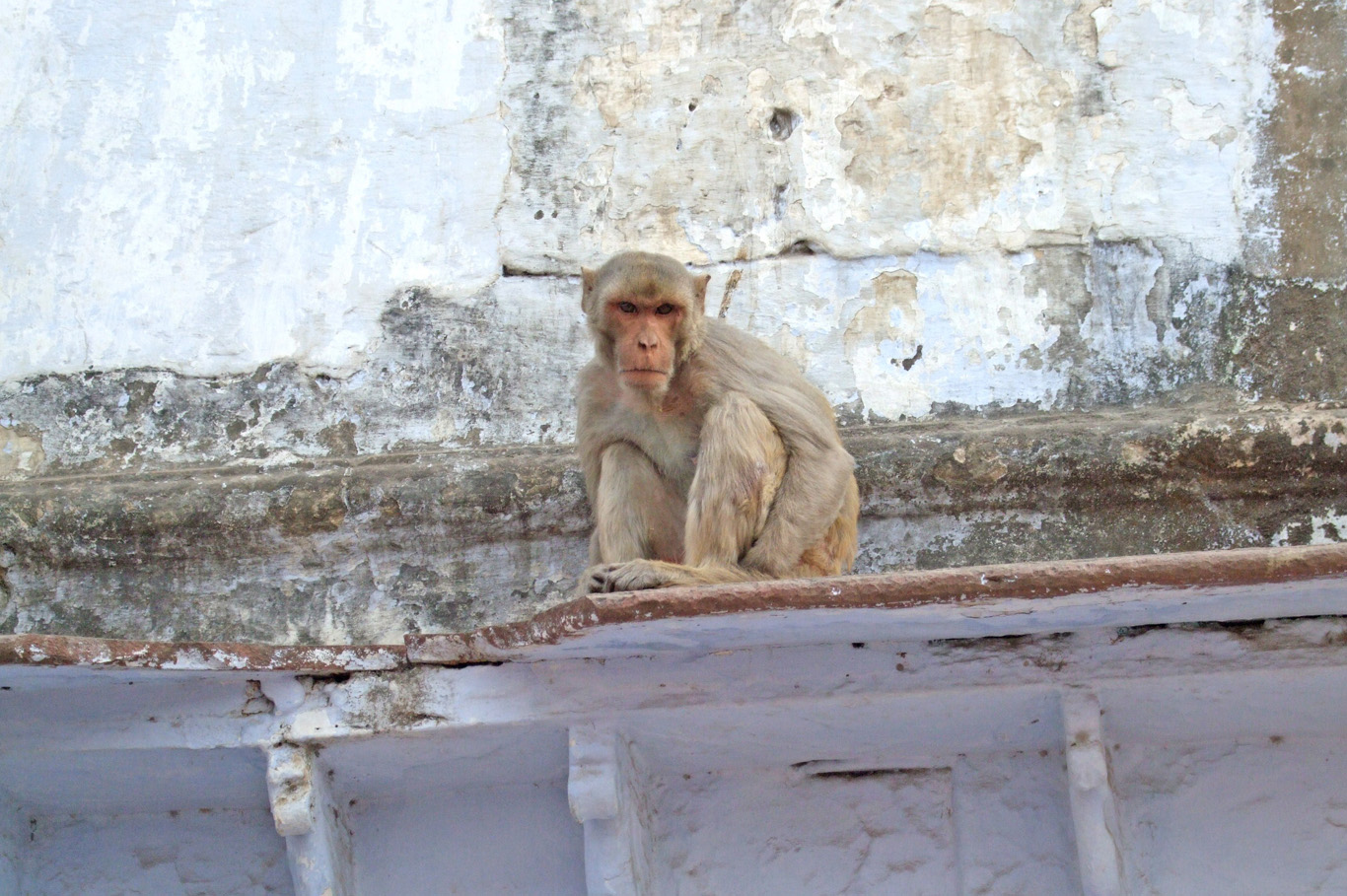 """An """"angry"""" monkey in Mathura"""