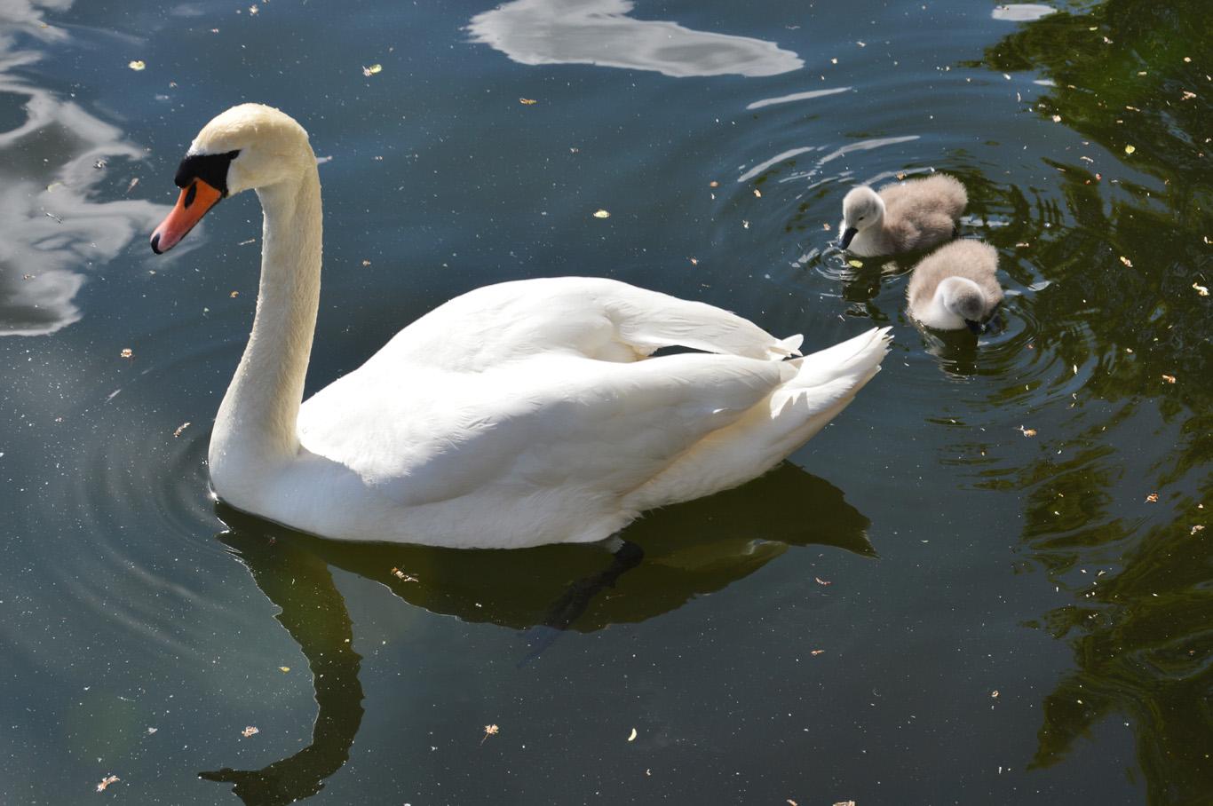 Swans on the lake in Stavanger