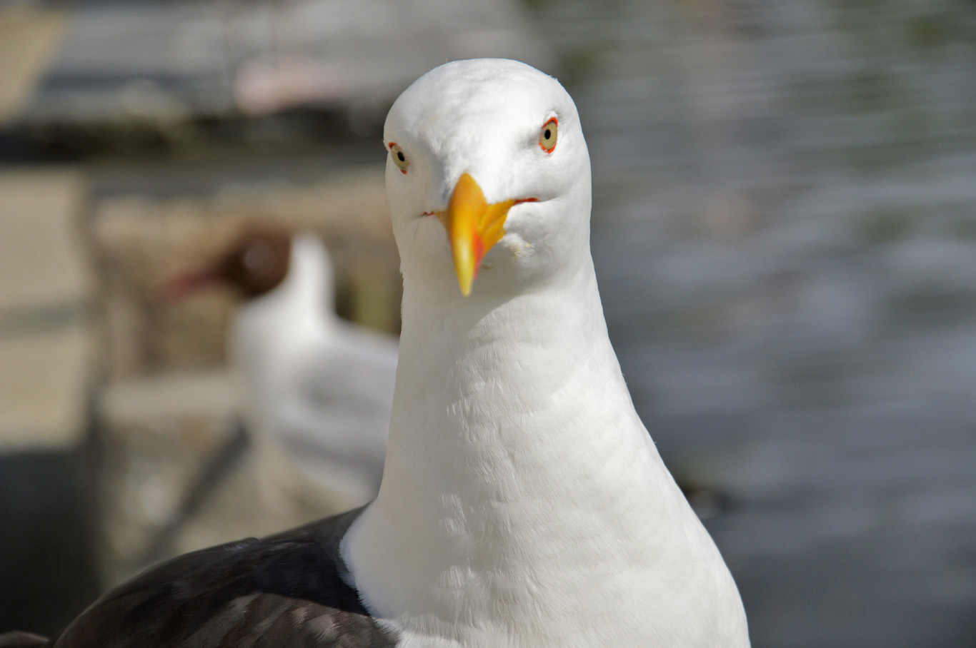 Seagull posing for a photo