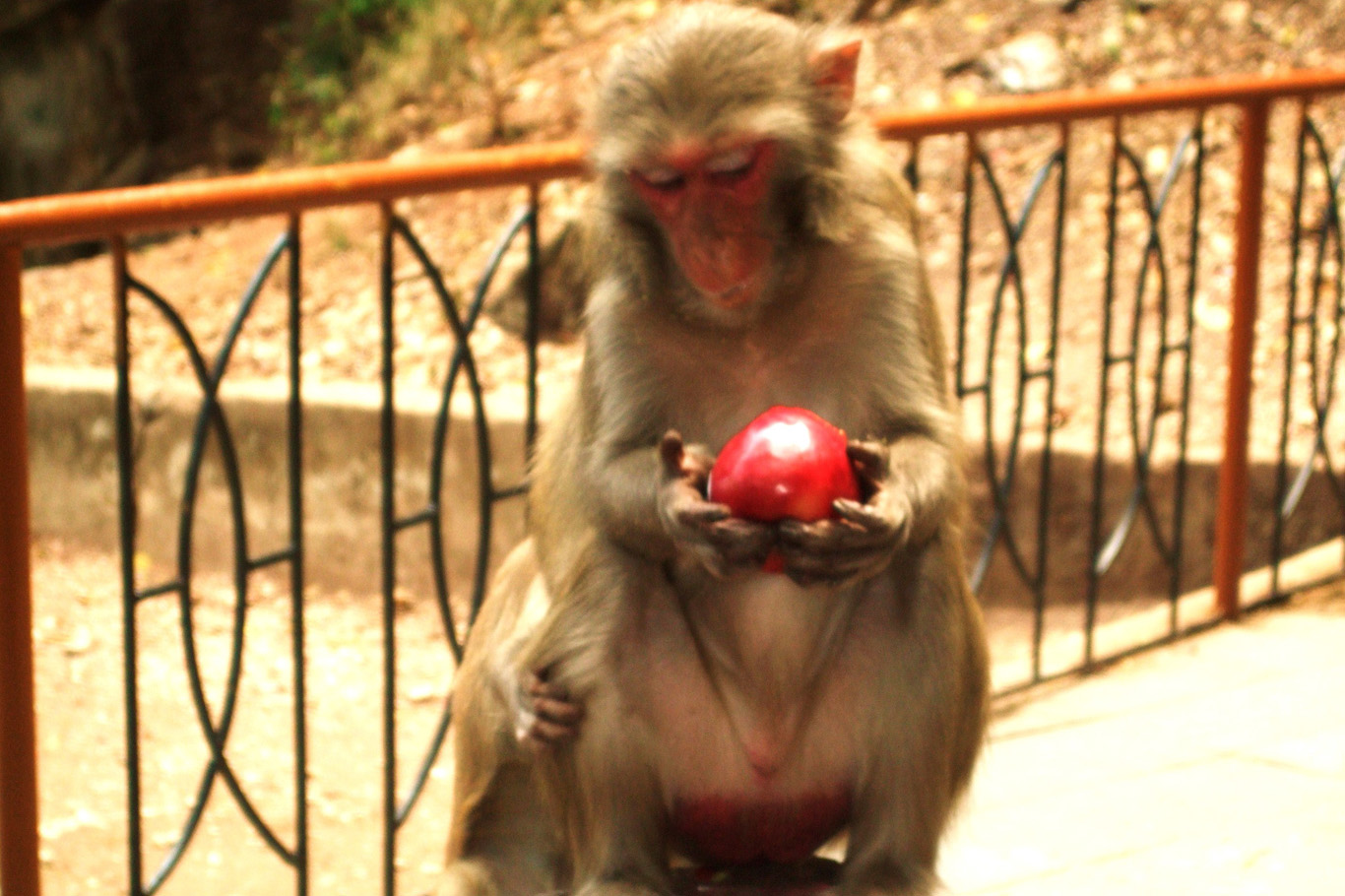 A monkey playing with an apple