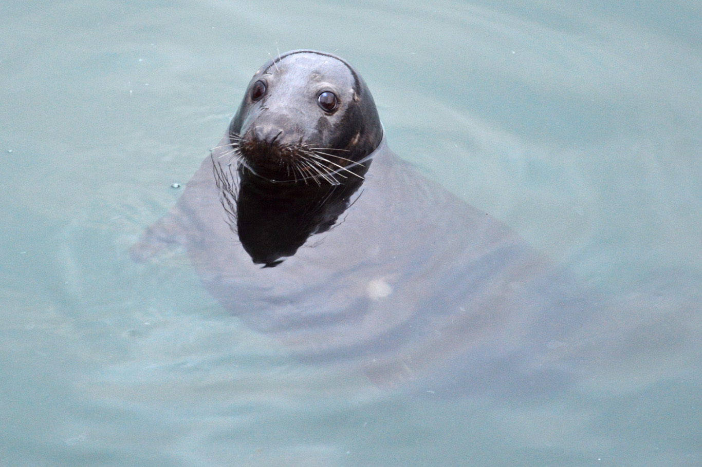 Seal in Howth