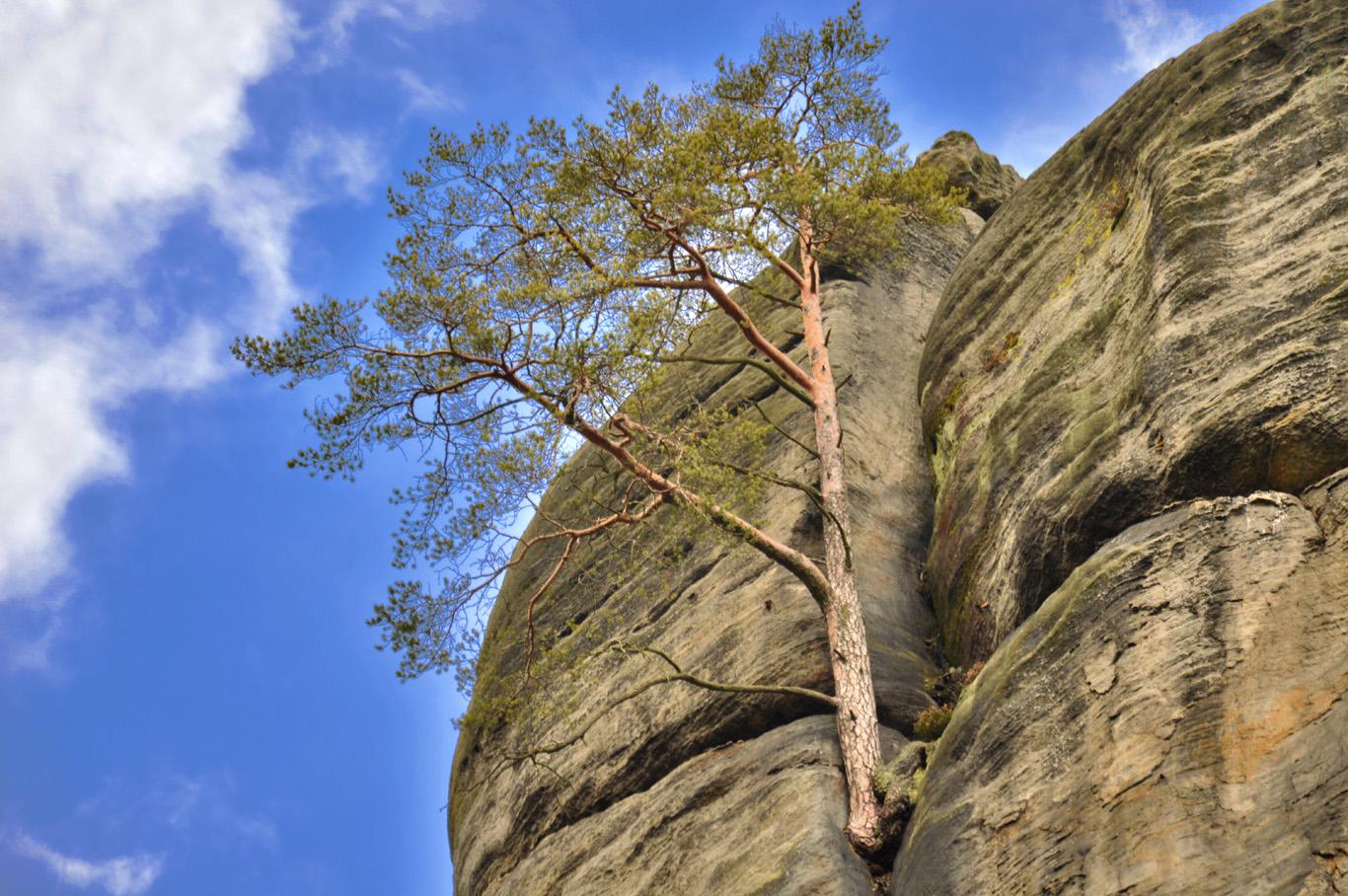 A pine growing in between the rocks