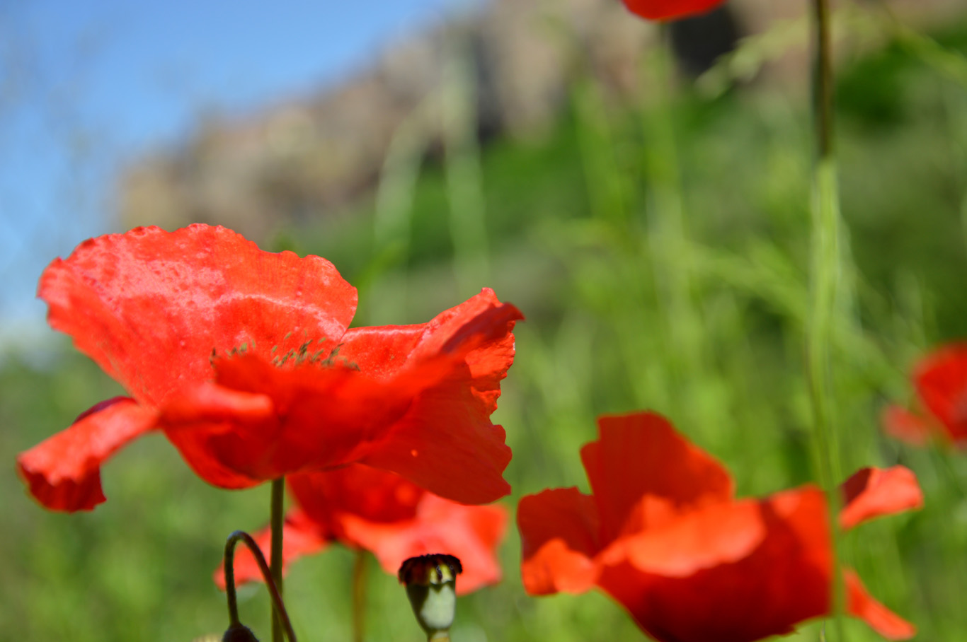 Poppy flowers on the meadows in front of Pitigliano
