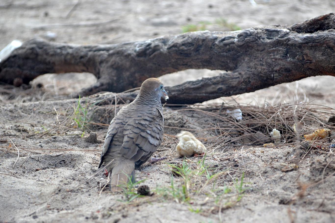 Zebra dove on Mon Choisy beach