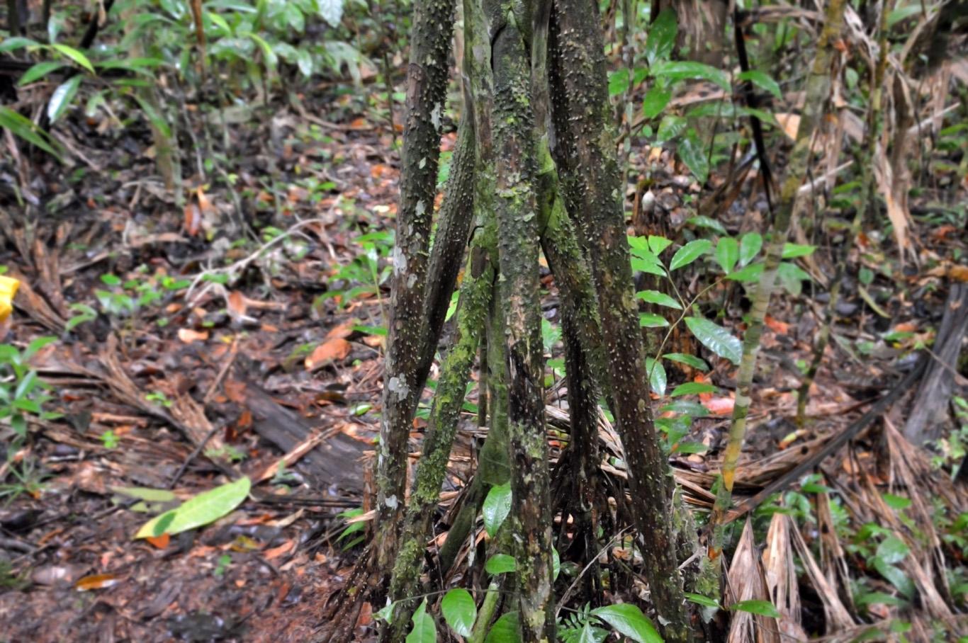 The trunk of Chambira