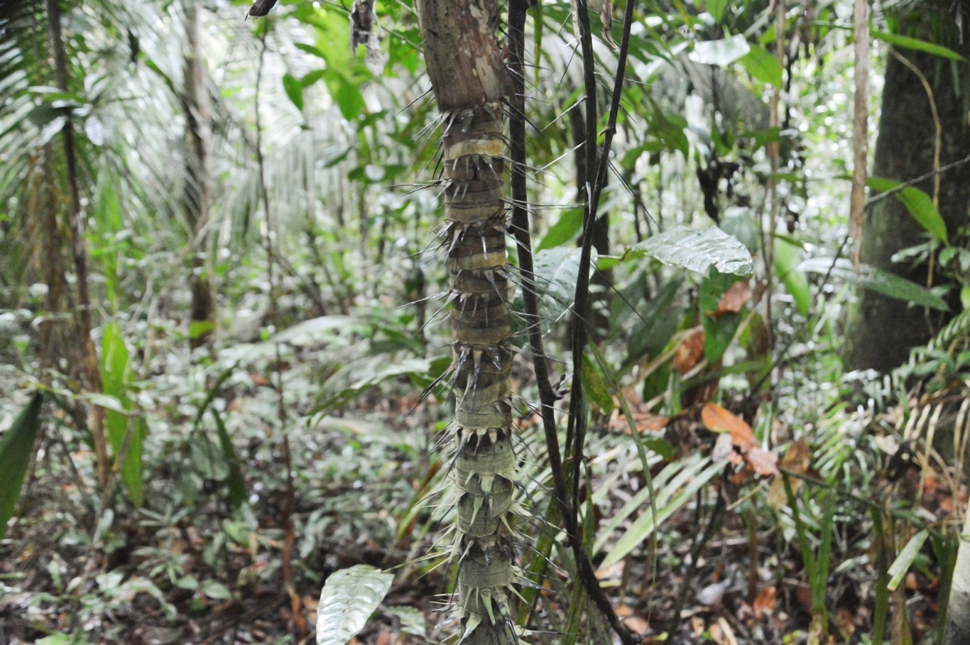 Young specimen with spikes on the stem