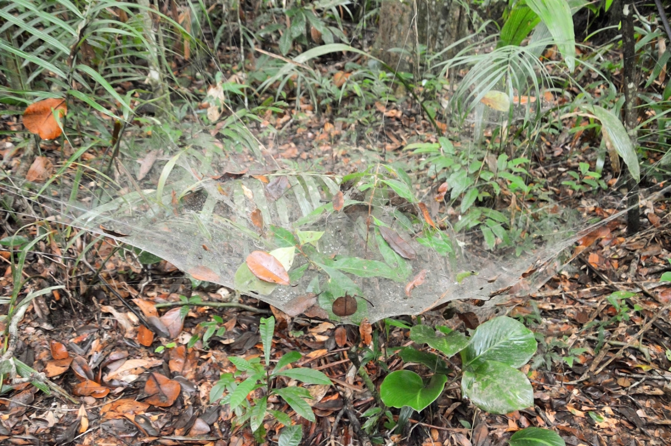 Gargantuan spider web - it would easily fit a man