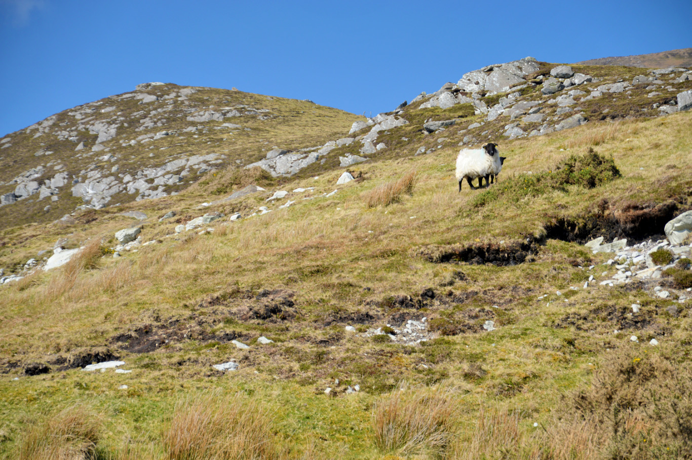 Sheep are everywhere in Ireland