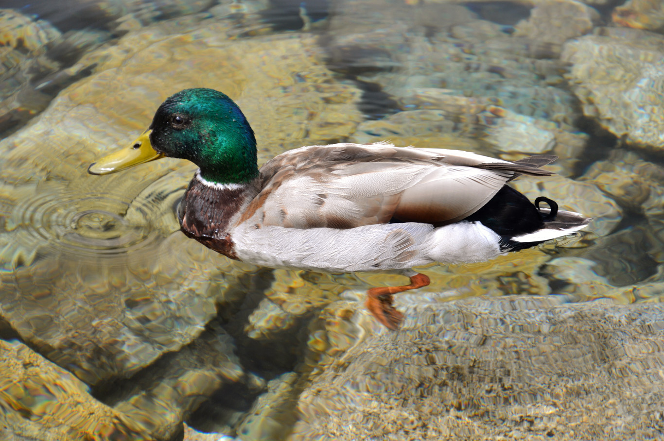 """A duck """"floating"""" on water"""