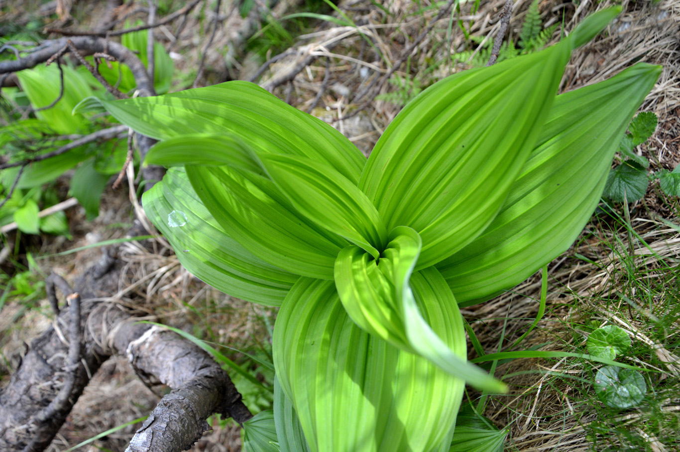 Beautiful leaves of Veratrum, also called corn lily