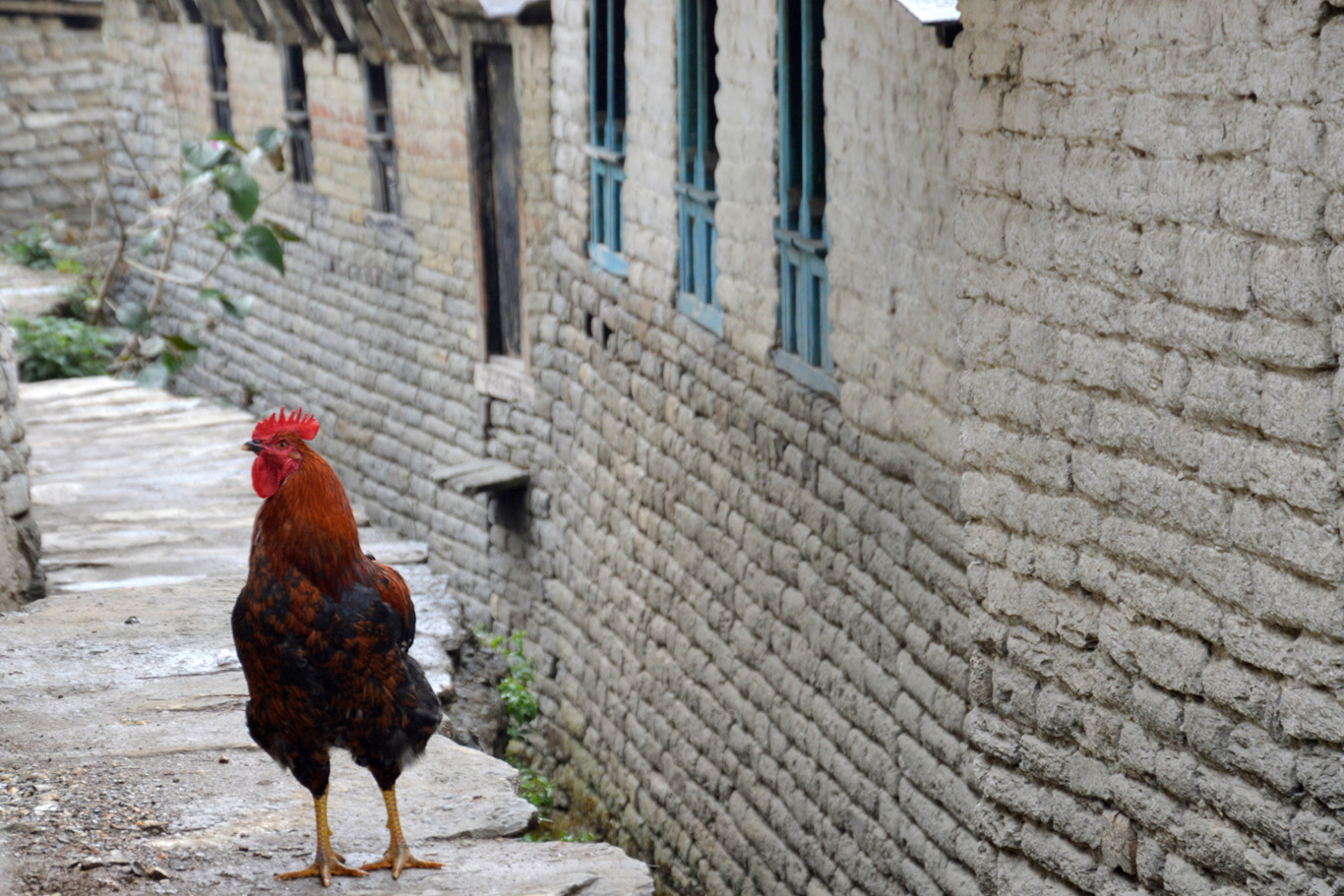 A rooster in Ulleri
