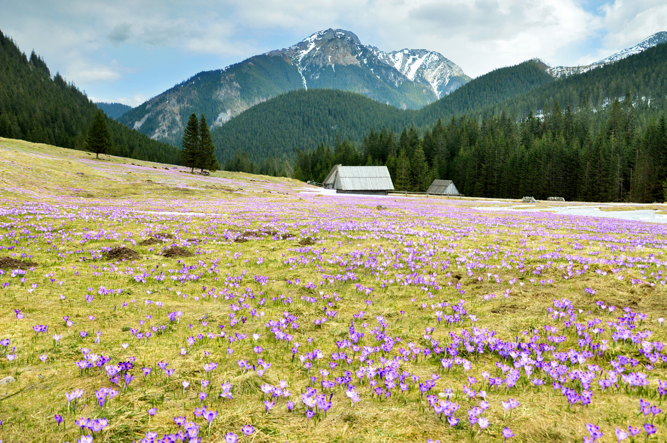 Chocholowska Valley covered in flowers