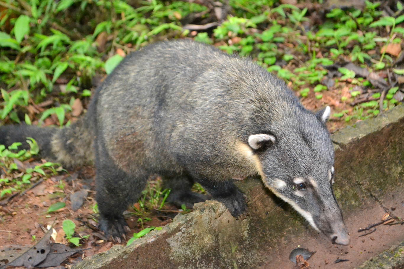 Hungry coati