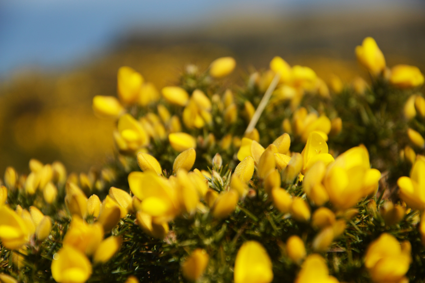 Gorse - yellow flowers
