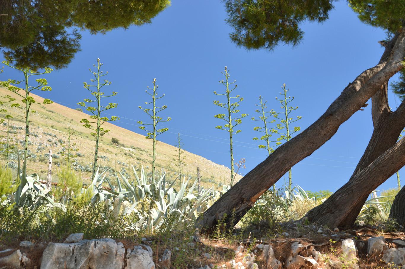 Succulents at Porto Palermo