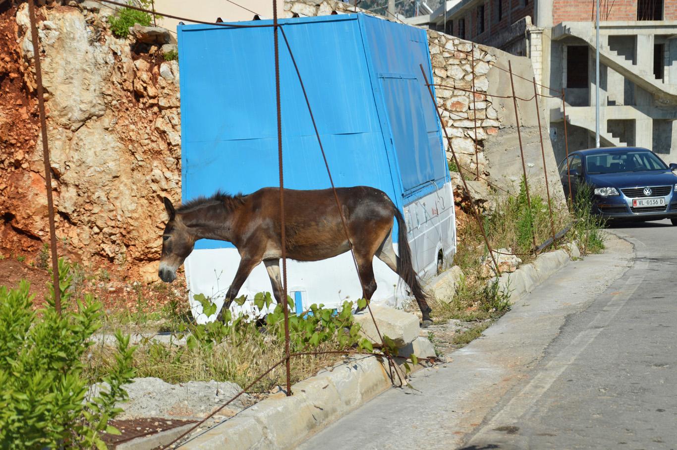 Donkeys in Himare